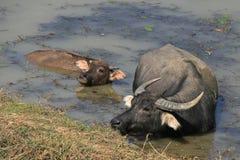Un búfalo de agua y sus jóvenes se están bañando en un lago en el campo cerca de Hanoi (Vietnam) Imágenes de archivo libres de regalías
