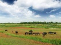 Un búfalo del grupo come la hierba en archivado Imagen de archivo libre de regalías