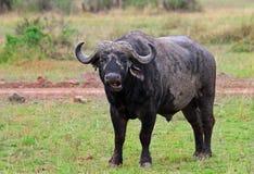 Un búfalo grande del cabo se coloca solamente en los llanos africanos abiertos Foto de archivo libre de regalías