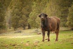 Un búfalo joven que mira hacia la cámara fotos de archivo libres de regalías