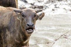 Un búfalo más joven Fotografía de archivo libre de regalías