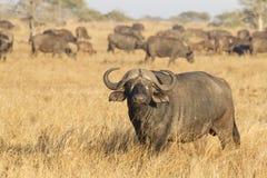 Un búfalo masculino del cabo con la manada, Suráfrica Imagen de archivo libre de regalías