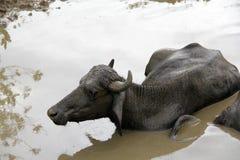 Un búfalo toma un baño Imagen de archivo libre de regalías