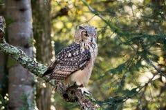 Un búho de águila de la roca que se sienta en los árboles Fotografía de archivo