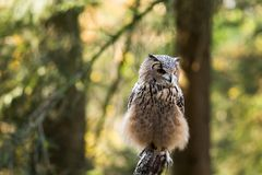 Un búho de águila de la roca que se sienta en los árboles Foto de archivo libre de regalías