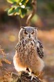 Un búho de águila de la roca que se sienta en los árboles Fotografía de archivo libre de regalías