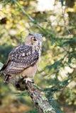 Un búho de águila de la roca que se sienta en los árboles Fotos de archivo libres de regalías