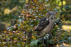 Un búho de águila de la roca que se sienta en los árboles Imagen de archivo libre de regalías