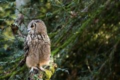 Un búho de águila de la roca que se sienta en los árboles Imagen de archivo
