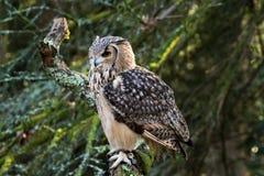 Un búho de águila de la roca que se sienta en los árboles Fotos de archivo