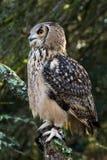 Un búho de águila de la roca que se sienta en los árboles Foto de archivo