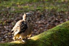 Un búho de águila de la roca que se sienta en los árboles Imágenes de archivo libres de regalías