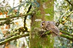 Un búho espigado largo que se sienta en los árboles Imagenes de archivo