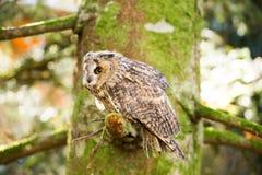 Un búho espigado largo que se sienta en los árboles Fotografía de archivo libre de regalías