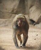 Un babbuino con suo andar in giroe della lingua Immagini Stock Libere da Diritti