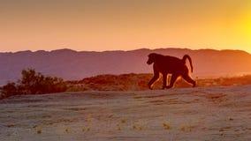 Un babouin progresse à bon escient contre le Soleil Levant à la réserve naturelle d'automnes d'Augrabies dans le Cap-du-Nord, Afr image libre de droits