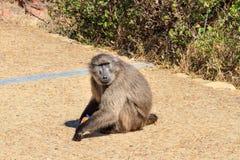 Un babuino Imagenes de archivo