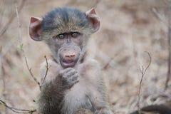 Un babuino del bebé Foto de archivo libre de regalías