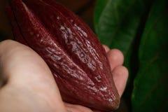 Un baccello del cacao a disposizione Fotografia Stock