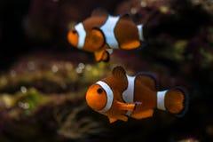 un bain de poissons de clown au-dessus du fond Image libre de droits