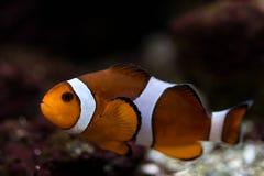 un bain de poissons de clown au-dessus du fond Photos stock
