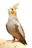 Un bambino del parrocchetto del cockatiel Immagini Stock Libere da Diritti