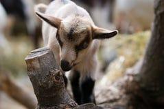 Un bambino della capra del bambino Fotografia Stock