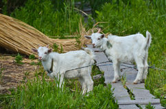 Un bambino di due capre sull'erba Immagine Stock Libera da Diritti