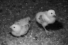 Un bambino di due polli che è uno settimane di età nel pollaio sull'azienda agricola Fondo scuro Rebecca 36 Fotografia Stock