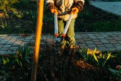Un bambino taglia presto un cespuglio delle rose dalle rose di una potatura del settore in primavera Formazione di cespuglio di r Immagini Stock Libere da Diritti