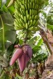 Un bananier fleurissant avec une culture saine des bananes images stock