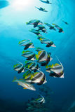 Un banc de longs bannerfish d'aileron avec un rayon de soleil ci-dessus Photographie stock libre de droits
