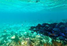 Un banc des poissons bleus Photos stock