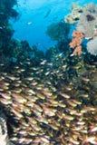 Un banc des poissons en verre/de balayeuse d'or Photo libre de droits