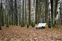 Un banco blanco solo en un bosque del abedul Imágenes de archivo libres de regalías
