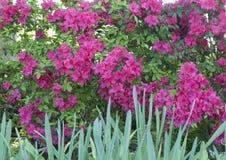 Un banco de azaleas rosadas Imagen de archivo libre de regalías
