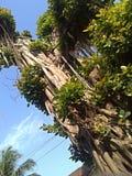 Un banian Photos libres de droits