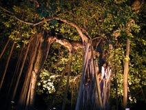 Un banian géant la nuit illuminé photographie stock libre de droits