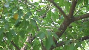 Un Barbet che canta, endemico di Taiwan dell'uccello di specie di nuchalis di Megalaima a Taiwan video d archivio