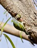 Un barbet del fabbro del rame al suo nido Immagini Stock