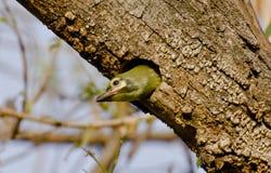 Un barbet giovanile del fabbro del rame al suo nido Fotografia Stock