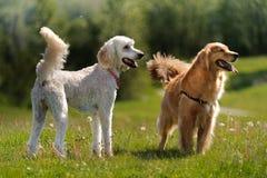 Un basamento dei due cani in un campo Fotografie Stock