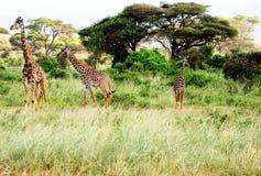 Un basamento delle tre giraffe in Africa su un safari. Immagini Stock