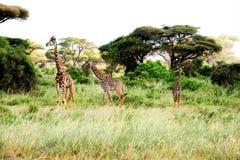 Un basamento delle tre giraffe in savanna africana sul safari Immagine Stock Libera da Diritti