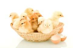 Un basketful de los pollos de resorte mullidos Imágenes de archivo libres de regalías