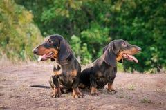 Un bassotto tedesco di due razze del cane, neri ed abbronzano, stanno la loro lingua fuori sorridenti contro il fondo degli alber immagine stock libera da diritti