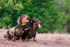 Un bassotto tedesco di due razze del cane, neri ed abbronzano, stanno la loro lingua fuori sorridenti contro il fondo degli alber immagini stock libere da diritti