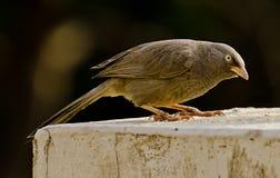 Un bavard se nourrissant d'un conducteur d'oiseau Photographie stock libre de droits