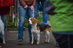 Un beagle hermoso se coloca en un correo al lado de su dueño en una línea general en una exposición canina Tiroteo en el nivel de imagen de archivo libre de regalías