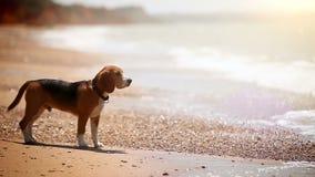 Un beagle que se coloca en las ondas del watchong de la playa viene y va almacen de metraje de vídeo